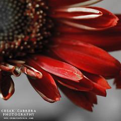 Simply Red (Cesar R.) Tags: naturaleza flower macro nature bravo flor nikond50 explore gerbera daisy margarita 60mm nikkor naturesfinest mywinners abigfave goldenphotographer platinumheartaward