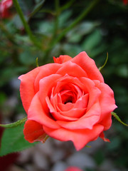do meu jardim (.camila) Tags: pink macro textura home nature garden saturao casa dof flor rosa jardim natureba minirosa