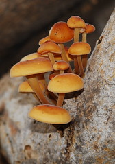 Flammulina velutipes (joe with a camera) Tags: london toadstool morden sulphurtuft hypholoma fasciculare