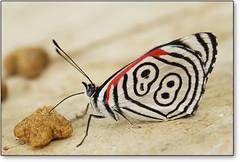 ......88......  Whiskas, a preferida  ......88...... (Fernando Felix) Tags: macro topf25 butterfly searchthebest borboleta 88 80 mariposa farfalla schmetterling whiskas naturesfinest macromundo 100faves 50faves diaethriaclymena animalkingdomelite abigfave diaethriaclymenabutterfly mariposa88 platinumphoto cmeradeourobrasil anawesomeshot butterfly88 superbmasterpiece diamondclassphotographer flickrdiamond megashot borboleta88 magicofaworldinmacro buzznbugz wonderfulworldmix macromarvels theperfectphotographer top5butterflies excapturemacro fernandofelix opequenogigantesmacro