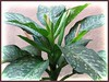 Dieffenbachia bowmannii Carriere (Spotted Dumbcane, Leopard Lily)