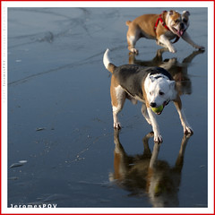 Holiday on Ice (JeromesPOV) Tags: winter dog pet reflection cute ice netherlands animal fun dof action hond bitch cuteness sliding tennisball animalfun dogfight huisdier 2007 winterfun reu greenball rotte redbelt dograce pettable redcollar smartdog holidayonice animalaction puppypower nearrotterdam dogaction notmydogs dogchase 200712 20071223 dogsonice teefje icereflection oudverlaat derotte riverrotte takingcurve greentennisball dogchallenge