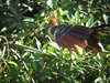 Hoatzin (prehistoric bird) at Oxbo…