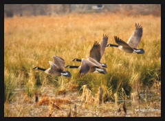 Among the fields of gold (Finiky) Tags: winter bird birds geese flight finiky birdsinflight waterfowl 2008 canadageese d3 huntleymeadows afewofmyfavoritethings
