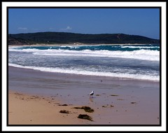 Looking out yonder (Lady Jayne ~) Tags: seascape beach seagull australia nsw catherinehillbay