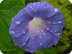 Purple Morning Glory With Rain Drops Rounded Edges Picnik 002 (Chrisser) Tags: flowers summer ontario canada nature garden vines gardening fourseasons closeups picnik morningglories convolvulaceae olympuscamediac765 flowerswithrainorwaterdrops