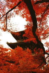 - red leaves (Sudachi) Tags: red tree fall japan temple pagoda maple kyoto branch autumnleaves      shinnyod