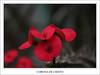 CORONA DE CRISTO (Charlie León) Tags: soe goldenglobe mywinners abigfave aplusphoto superbmasterpiece diamondclassphotographer betterthangood goldstaraward proudlychopped amazinglyaxed mimamorflowers flickrlovers