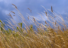 grasses in the wind ((jow)) Tags: light storm clouds golden wind grasses breeze hedgerow