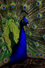 On Display (Frank Peters) Tags: bird birds zoo colorful stlouis feathers peacock missouri stlouiszoo ipernity
