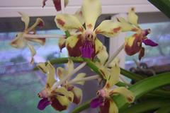 Vanda lamellata var. boxalli 'Tom Ritter' (dwittkower) Tags: orchid flower flora orchids orchidaceae vanda orquideas orchidée orqudea