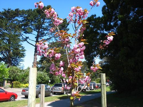 Prunus 'Kwanzan'?