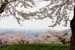 桜越しの北海道駒ヶ岳