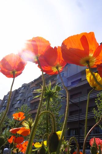 fleur de la ville de vallence