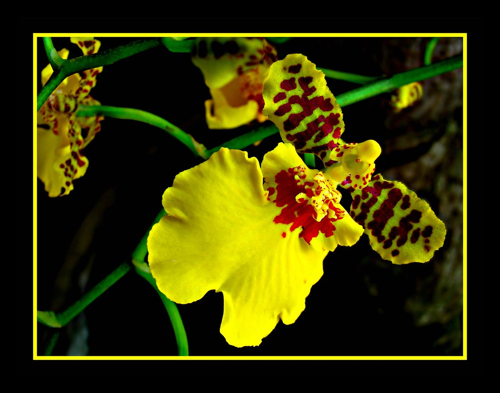 Micro-Orchid (Oncidium Varicosum) - Until at last I am opened...