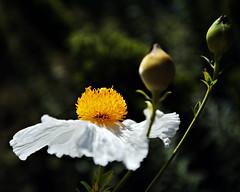 Matilija Poppy (Dean of Photography) Tags: flower matilijapoppy photofaceoffwinner pfogold