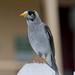 Noisy miner (Manorina melanocephala) (24 – 27 centimetres) - Lighthouse Hill, Port Stephens, NSW, Australia