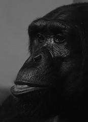 deep thought (kevmg61) Tags: chimpanzee chimp monkeyworld thought look staring dorset black white animal primate monkey