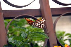 Ecuador_20090328113010 (_Wayfarer) Tags: butterfly butterflies animalsmating