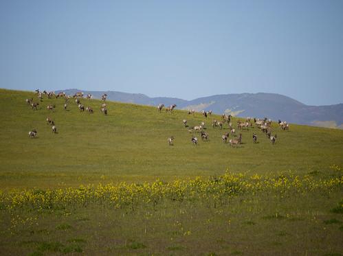 64 elk, including 7 calves