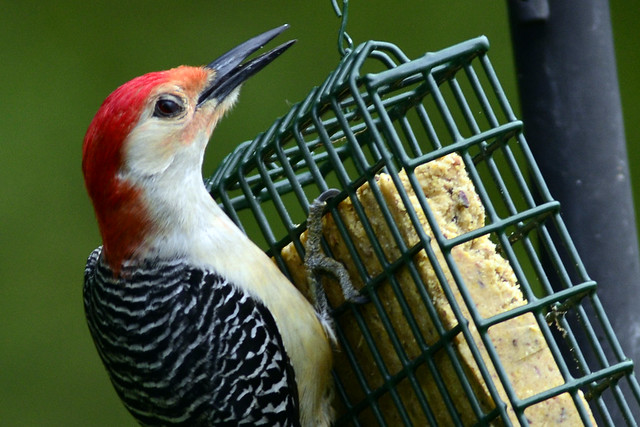 red bellied woodpecker two 2011