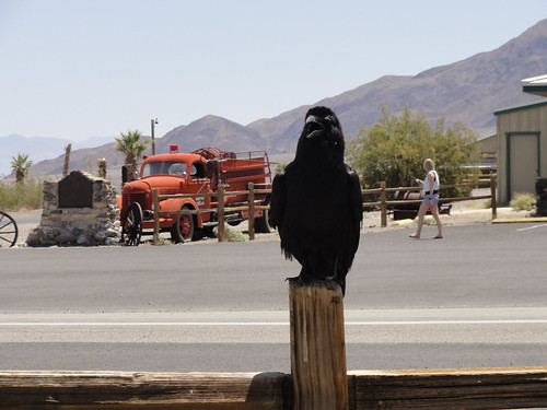 Hungry bird by stovepipe wells