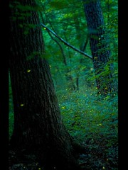 firefiles-north-georgia-woods (WhoWatches) Tags: night forest georgia woods long exposure pentax many north bugs 55mm m42 lightning 18 firefly petri lots fireflies