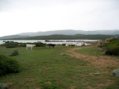 Vaches aux Bruzzi