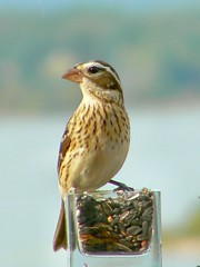 Female Rose-breasted Grosbeak (Lollie Dot Com) Tags: bird rosebreastedgrosbeak femalerosebreastedgrosbeak lolliedotcompix p1330767nnc
