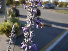 'Bligatory Beeshot (Tylerbomb) Tags: flower purple lexington kentucky bee botanicalgarden aboretum universityofkentucky