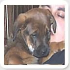 Red Girl (muslovedogs) Tags: dogs puppy mastweiler myladyoffspring lilboyoffspring