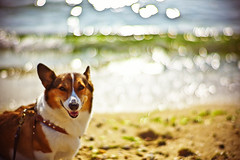 shine for you (moaan) Tags: leica dog beach smile glitter digital 50mm corgi dof shine bokeh f10 sparkle shore m8 watersedge ripples noctilux welshcorgi 2007 glisten personify smilingface wavelets explored  pochiko leicam8 leicanoctilux50mmf10 bokehwhores ripplingwaves gettyimagesjapanq1 gettyimagesjapanq2