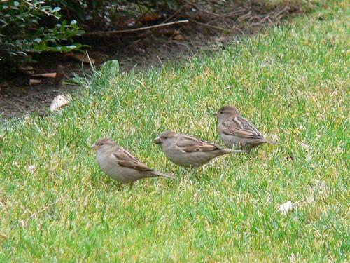 tres pájaros en la hierba