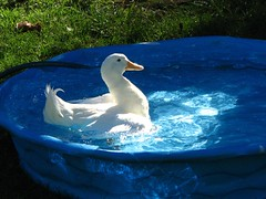 Duck having a religious experence (Boonlong1) Tags: sunlight bird water birds swimming fun duck religion waterfowl avian animaladdiction religiousexperence