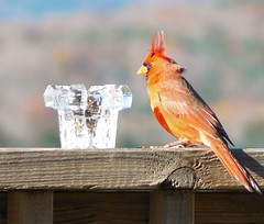 the rarely seen 'three horned red devil' cardinal (Lollie Dot Com) Tags: fab bird cardinal card threehorns lolliedotcompix impressedbeauty threehornedreddevil ouuespooky morelikeadoredfeatheryfriend p1340867cc1