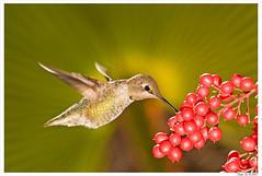 St. Hummer (Thi) Tags: hummingbird hummer