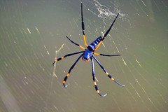 Golden-Orb Spider (Nephila pilipes) (Arno Meintjes Wildlife) Tags: africa wallpaper macro nature animal insect bush wildlife safari explore rsa goldenorbspider interestingness132 i500 nephilapilipes arnomeintjes i500verified flickrunitedaward