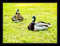 Whaddup, Duckie? (DJt@lis) Tags: bird nature public duck university wildlife safe coventry warwickshire midlands djtalis