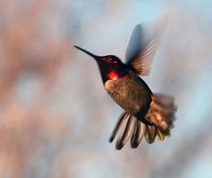 Action (jhhwild) Tags: flying hummingbird action flight