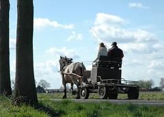 DSC_4310kopie Wendy (Ton van der Weerden) Tags: horses horse de cheval van der pferde nederlands pferd ton draft chevaux belge belgisch trait kaltblut koudbloed trekpaard zugpferd trekpaarden weerden wwwtonvanderweerdennl