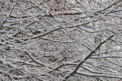 intreccio invernale (Augusto Rigoni) Tags: top natura neve asiago