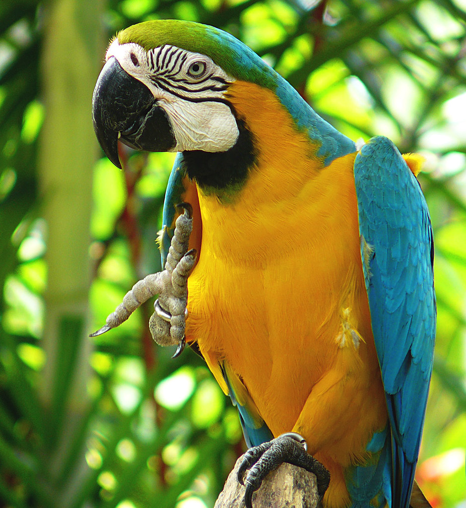 The Blue and Gold Macaw at Jurong Bird Park in Singapore.
