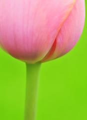 joy (ajpscs) Tags: pink flower macro festival japan japanese tokyo spring nikon tulip  nippon   d300 springflower showakinenkoen ajpscs  tuliporlaleapersianword