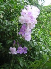 SHINING IN GREEN LEAVES (IDIAY) Tags: flores hope esperanza lilas campanulas aquestionsdayflowers