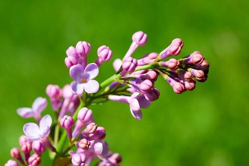 close-up lilac
