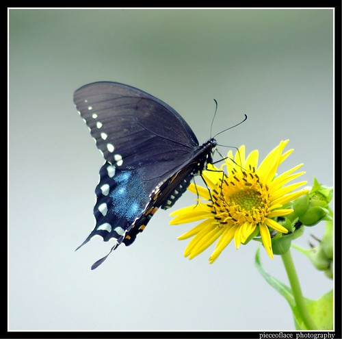 Spicebush Swallowtail on Rosinweed...