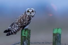 Short-eared Owl (Marvandae) Tags: velduil shortearedowl uitkerksepolder