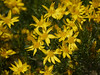 goldenbush - ericameria linearifolia