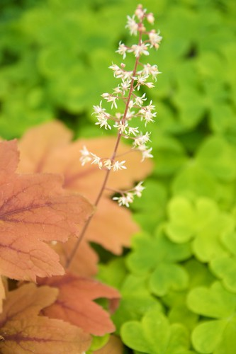 heucherella sweet tea  256