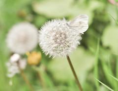 (Anca Mm) Tags: girl spring pastel dandelion dreamy warmdays vintagetouch